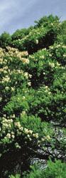 Les peuplades arboigènes utilisaient les feuilles de Tea-Tree